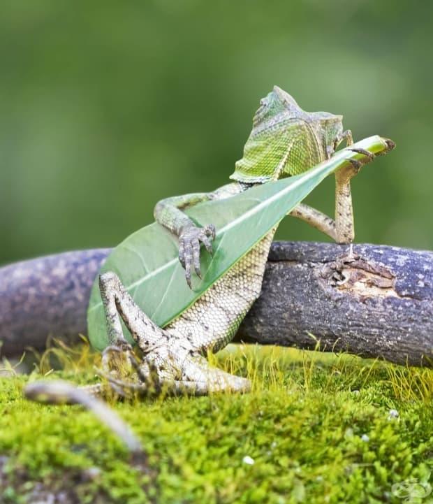 Гущер, който свири на китара.