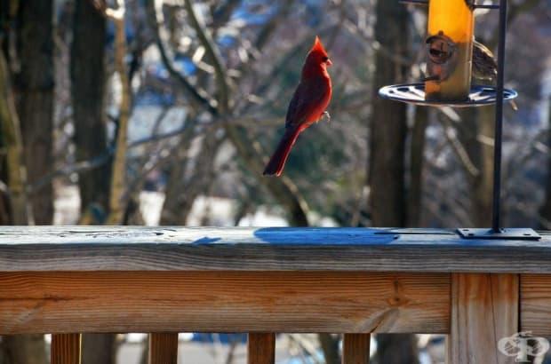 Птичка червен кардинал, която левитира.