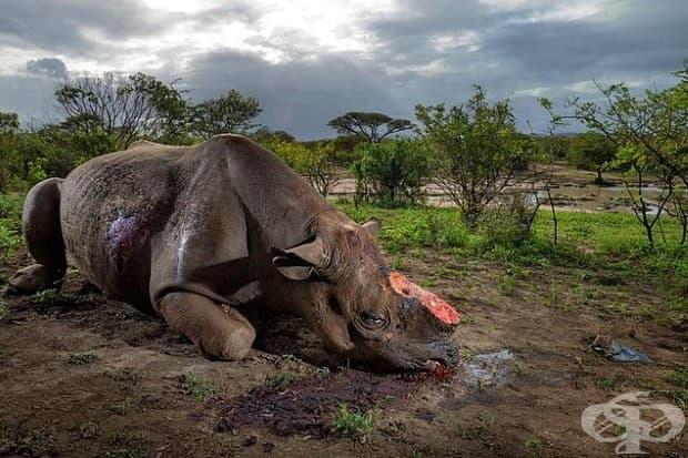 Бракониери убиват този черен носорог, заради неговия рог с високо калиброви патрони в парк Хлухлуве-Имфолози в Южна Африка. Днес черните носорози са само около 5000.