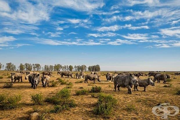 Рогата на тези носорози в ранчо в Южна Африка наскоро са били отрязани. За разлика от слонова кост, тази на носорога расте обратно, когато е отрязана правилно. В ранчото се запасяват с рога, с надеждата, че продажбата им скоро ще бъде легална.