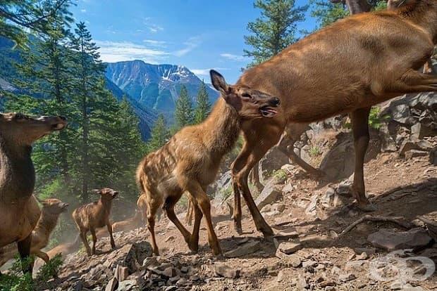 Първа лятна миграция към югоизточната част на Йелоустоун.  Три-седмични телци следват майките си нагоре по склона.
