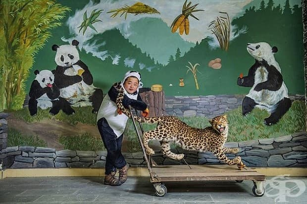 Гледач на панда в Китай използва пълнен леопард, за да обучавамладите панди да се страхуват от най-големия си див враг. Реакцията й помага да се определи дали мечката е готова да оцелее сама.