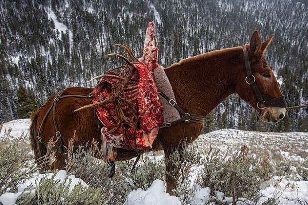 Уловен лосот и неговите ценени рога са транспортирани по старомодния начин - чрез муле. Повече от 72,000 ловци идват в земите около Йелоустоун и Гранд Тетон през 2014.