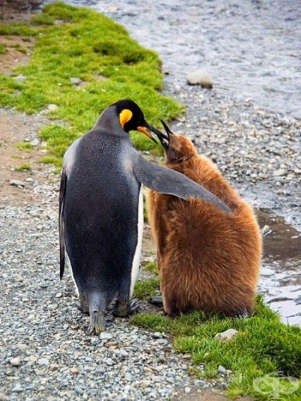 Императорски пингвин.
