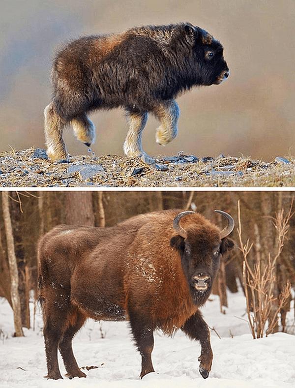 Див горски бик