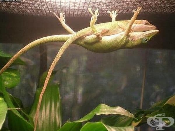 Мъжкият гущер се държи за клетката така, че женската спи удобно върху него.