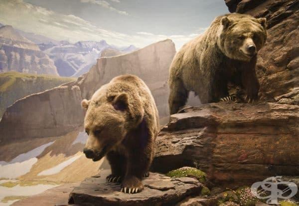 Дори да порасне и да напусне своята майка, мечката гризли винаги създава бърлога в близост до нейния дом.