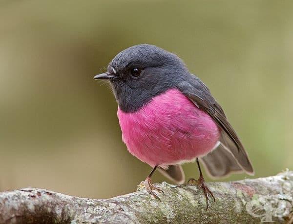 Розова птичка  - Petroica rodinogaster.