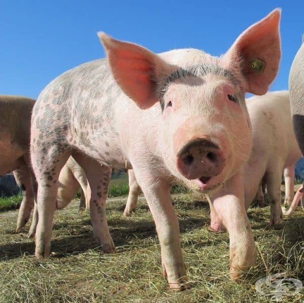 """Чували ли сте израза """"изпотяване като прасе"""". Оказва се, че прасетата дори не се потят."""