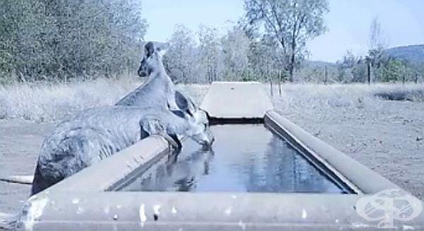 Австралийски фермер създаде басейн, в който дивите животни могат да утолят жаждата си.