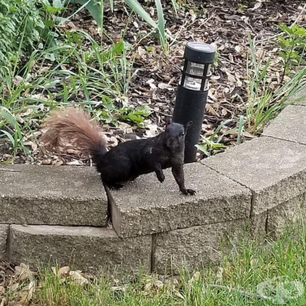 Черна катерица с кафява опашка.