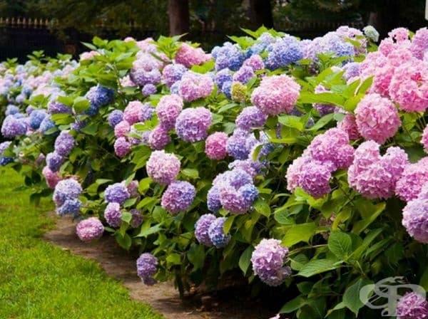 Хортензия. Листата и пъпките на растението са отровни. При натравяне симптомите са коремни болки, диария, затруднено дишане и кома. При допир може да се развие контактен дерматит.