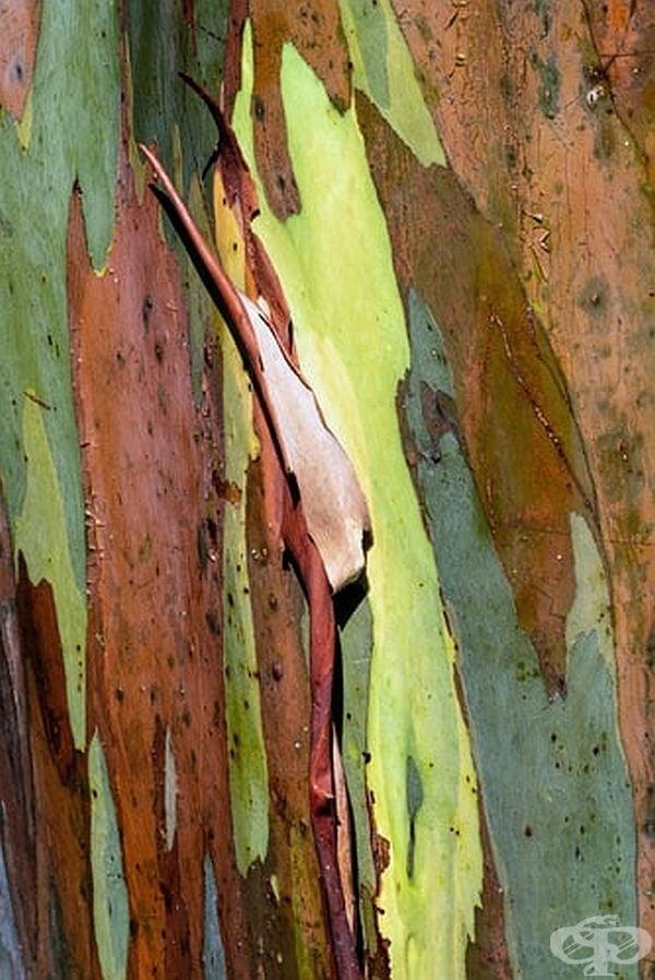 Красотата на евкалиптовото стъбло.