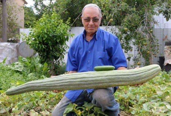 Ицхак Дъпанпан, жител на Израел, проявява голям интерес към зеленчукопроизводството, след като се пенсионира. Той успява да отгледа краставица с дължината 1,2 м.