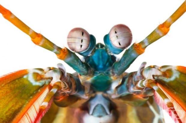 Скаридата богомолка разполага с изненадващо количество цветни рецептори – 12, за сравнение нашите са само 3. Очите й се движат и възприемат дълбочина независимо едно от друго и могат да виждат инфрачервена и ултравиолетова светлина.