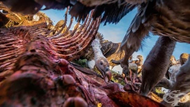 Тази снимка на хранещи се лешояди е направена благодарение на скрития зад ребрата на мъртвата зебра фотоапарат.