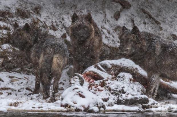 Тялото на бизон, който се е удавил в река Йелоустоун, се превръща в пир за алфа женска от глутницата на Моли, заедно с нейните две вълчета.