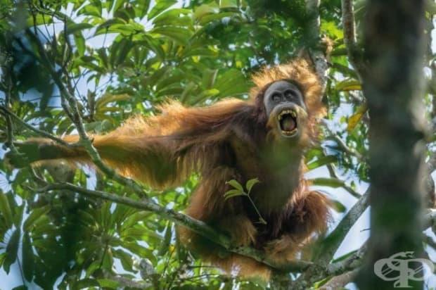 Мъжки орангутан от Суматра предизвиква опонента си, показвайки зъбите си и клатейки клони. Тези примати са застрашен вид и наброяват около 14 000.