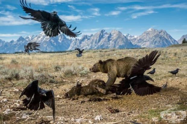 Мечка Гризли брани плячката си от гарвани в Националния парк Grand Teton.