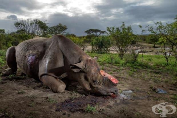 Бракониери са убили този черен носорог в южноафриканския парк Хлухлууелмфолози заради рога му. Днес черните носорози наброяват едва 5 000.