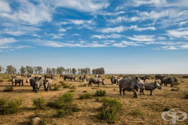 На тези носорози в южноафриканско ранчо наскоро са им отрязали рогата. За разлика от бивните на слоновете, рогата на носорозите порастват отново, ако са отрязани както трябва.