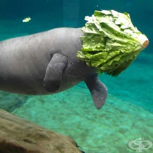 Просто една морска крава