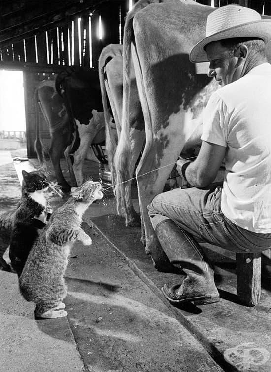 Опашка за мляко, 1954 г.