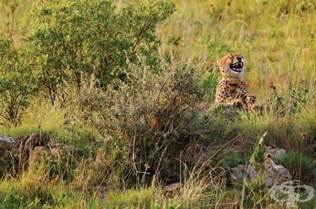 Как да спрете и заговорите гепард: кажете му шега!
