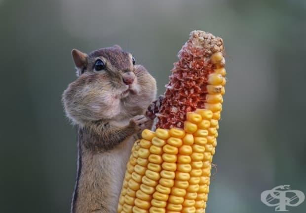 Да изям теглото си в царевица? Готово!