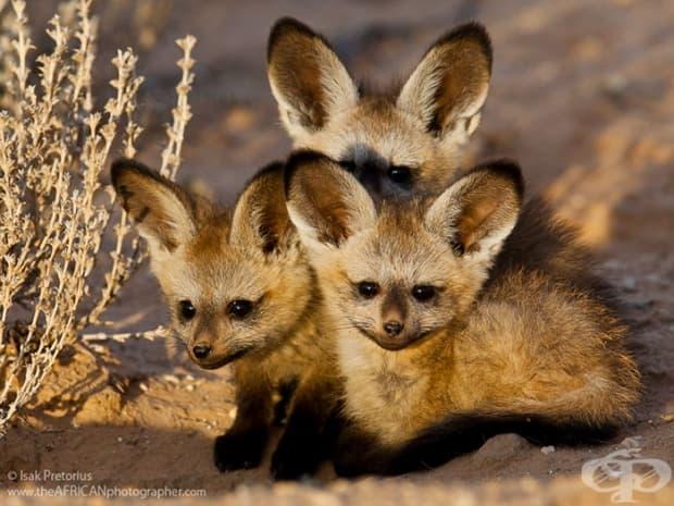 Африкаснка лисица с прилепови уши