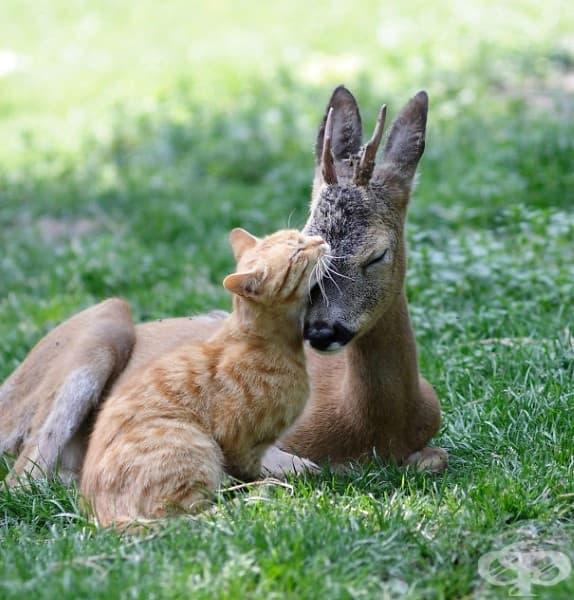 Котка и сърна