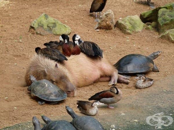 Капибара и патки