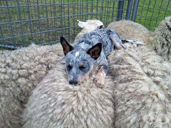 Куче и овце