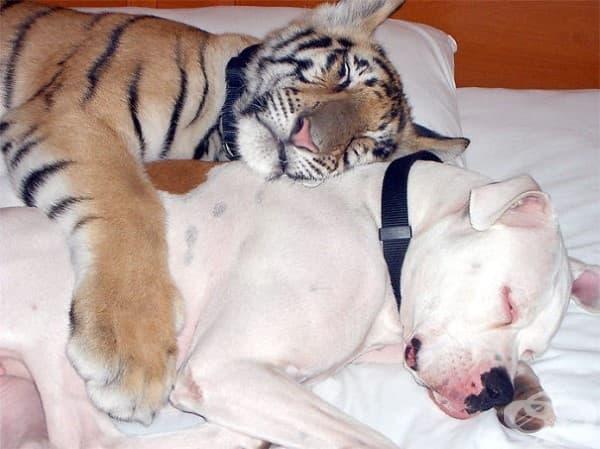 Тигърче и куче