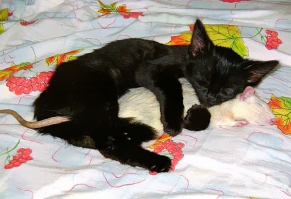 Котка и плъх