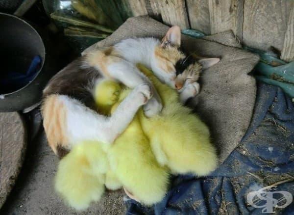 Котка и патета