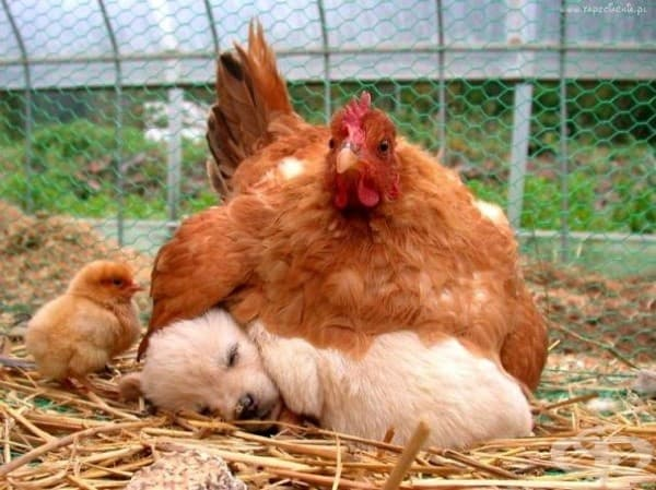 Кученце и кокошка