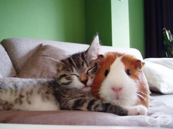 Котка и морско свинче