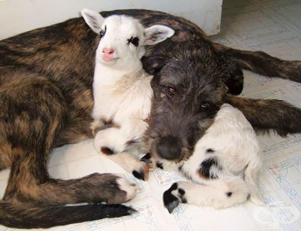 Куче и агънце