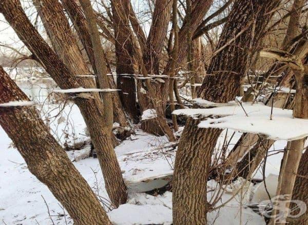 Ледени листове, разположени между дървета, които са се образували след зимни наводнения.