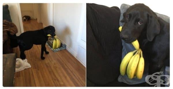 Моето куче обича банани толкова много, че ги разнася навсякъде със себе си и не иска да ги сподели с никого.