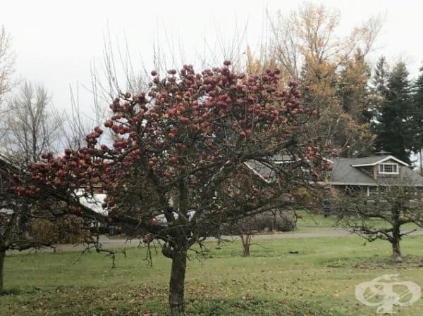 Дърво без листа, но с много ябълки.
