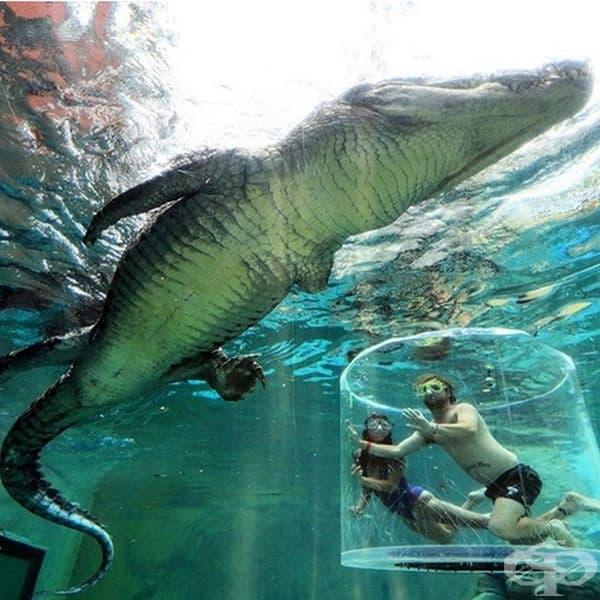 Ако търсите екстремно преживяване, може да посетите Crocosaurus Cove в Австралия и да поплувате с 3 пъти по-голям от вас крокодил в солените води. Адреналинът ви определено ще се покачи.