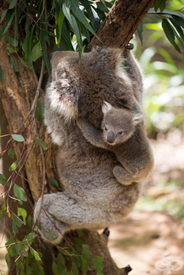 След като коалата порасне и стане по-голяма от торбата, майката започва да се грижи за нея като я носи на гърба си.