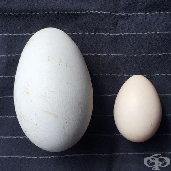 Най-голямото гъше яйце и най-малкото кокоше яйце от ферма.