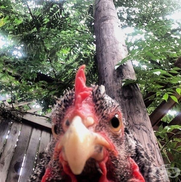 Селфи на кокошка.