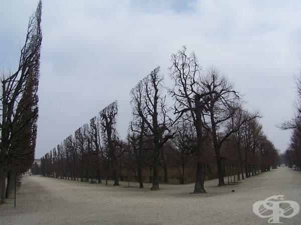 Ето как се подрязват тези дървета в парка Шонбрун.