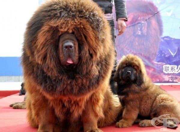 Африкански лъв? Не! Куче, порода тибетски мастиф.