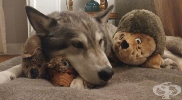 Това куче много прилича на вълк.