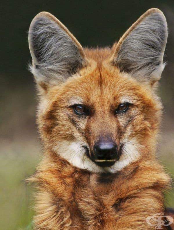 Не, това не е лисица, това е планински вълк.